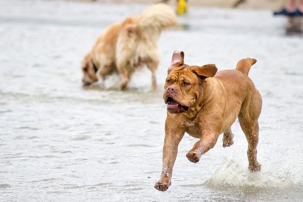 cane boxer che corre