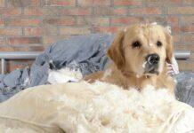 cane che distrugge i cuscini