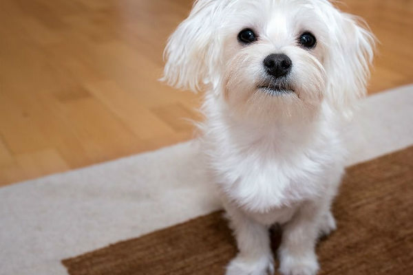 Lo zucchero fa male ai cani? Pro e contro di questo alimento