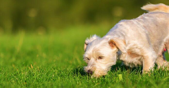 cane che annusa l'erba