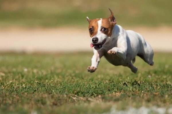 cane corre sul prato