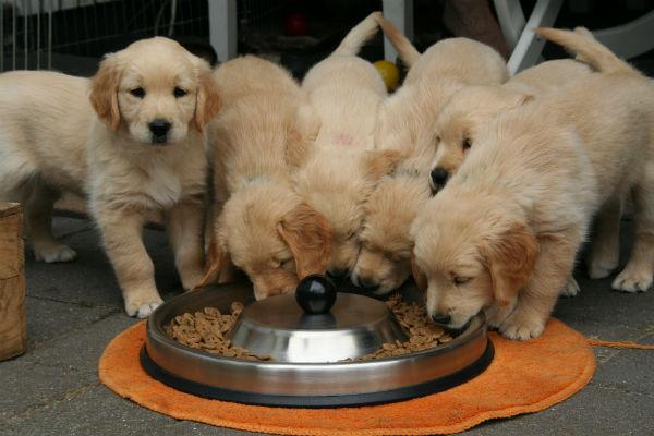 Perché il cane porta via il cibo, in un'altra stanza?
