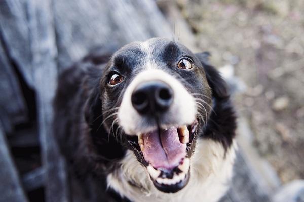 Perché il cane tiene la bocca aperta? Tutte le cause