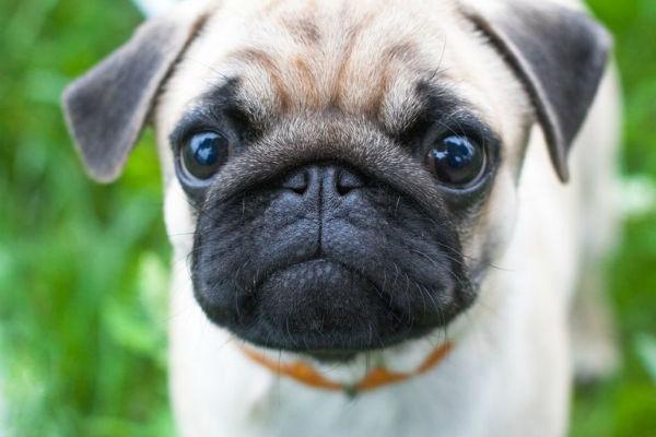 cane carlino