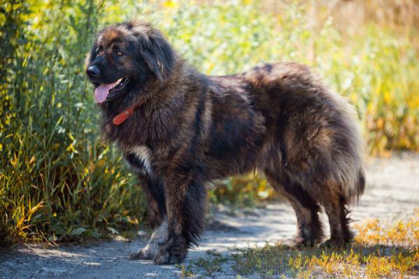 Pitosiosi del cane: caratteristiche e cure della malattia canina