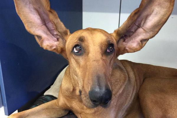 perdita dell'udito progressiva nel cane