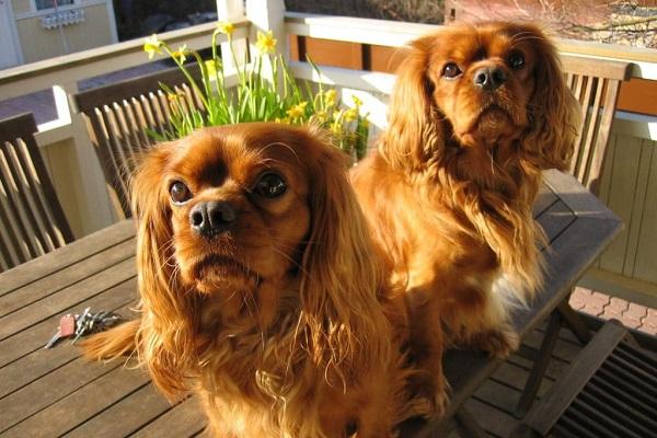 due cani su tavolo