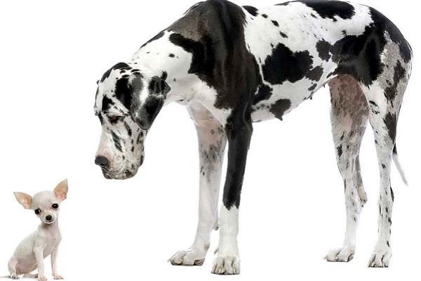 cane grande e cane piccolo