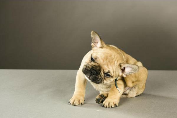 cane che gratta l'orecchio