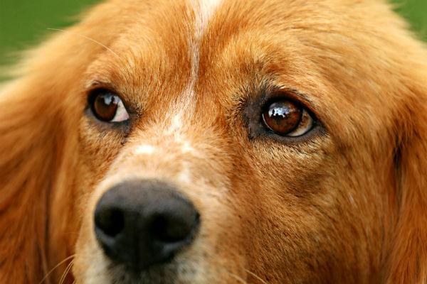 Razze di cani con problemi alle palpebre: quali sono quelle predisposte?