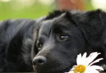cane dal pelo nero