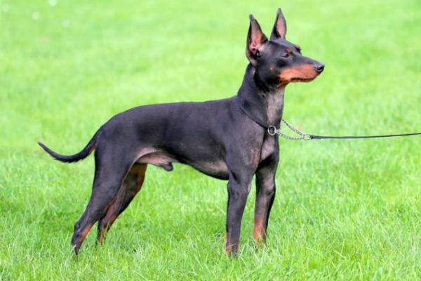 Quali sono le razze di cani più longeve? Eccone 11