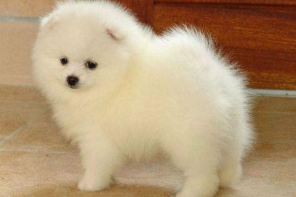cane bianco a casa