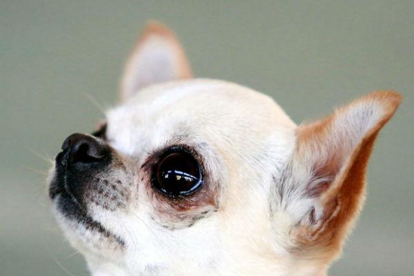 cane con testa alzata