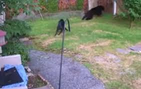 Cane affronta senza timore un orso nel giardino del vicino