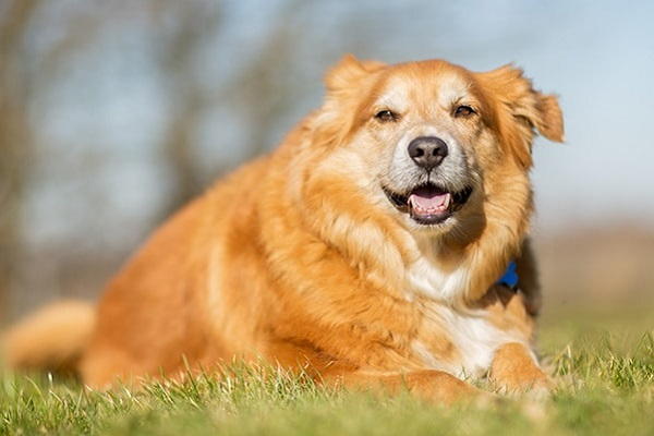 Si può dare la maionese al cane?