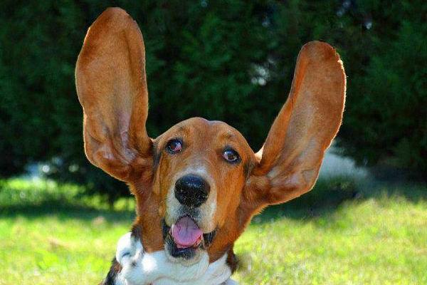Test per l'udito dei cani: tutto quello che c'è da sapere