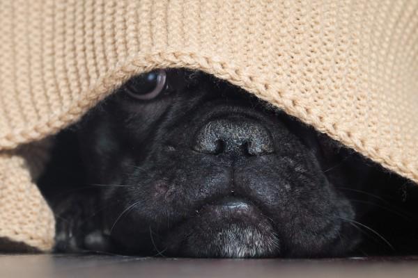 un cane nascosto dietro a una coperta