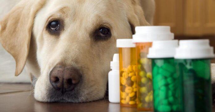 un cane prende troppe medicine