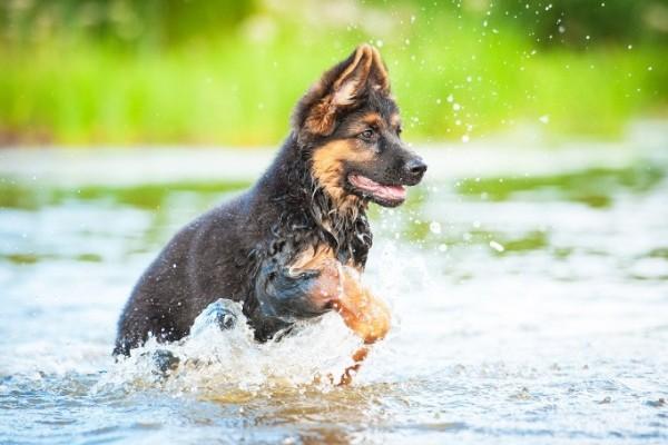 cucciolo corre in acqua