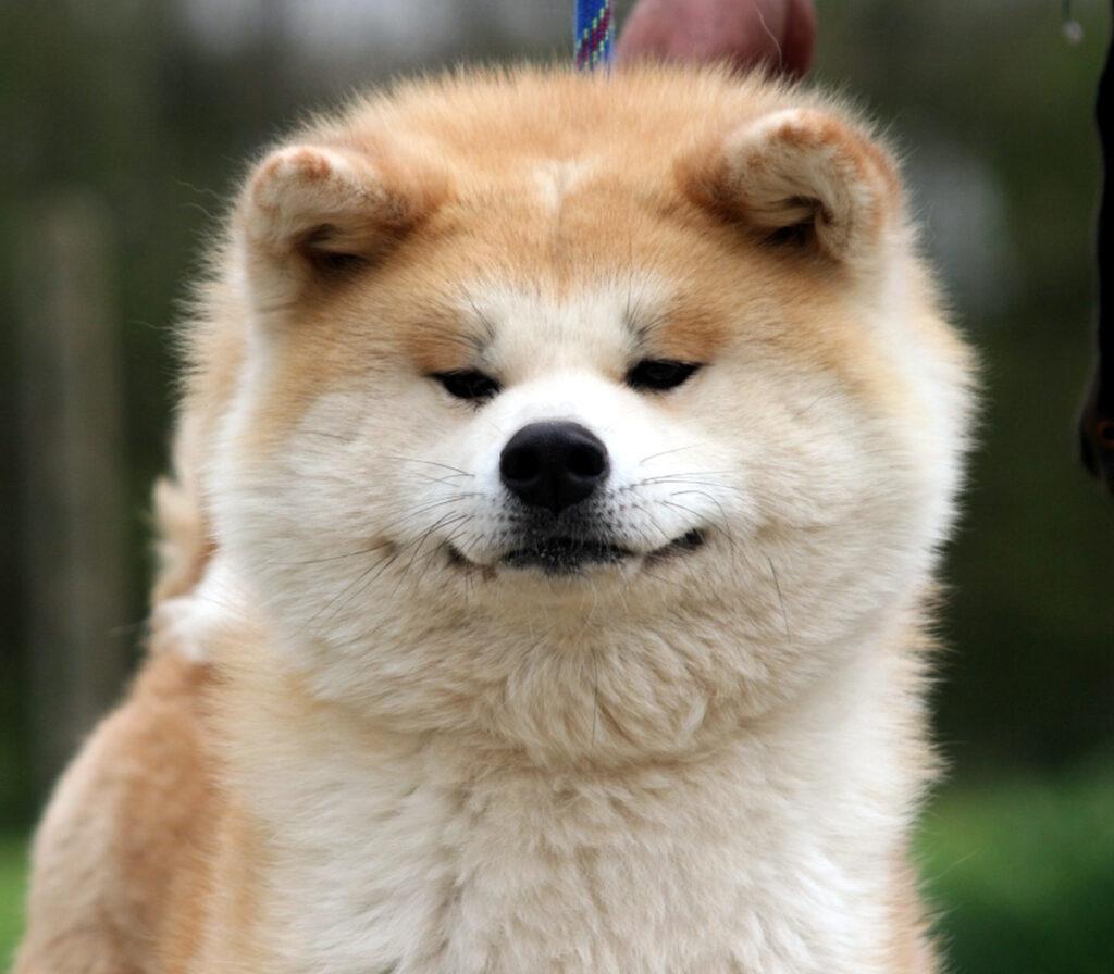 Aki, il cane che ha salvato la sua famiglia dall'assalto dei ladri