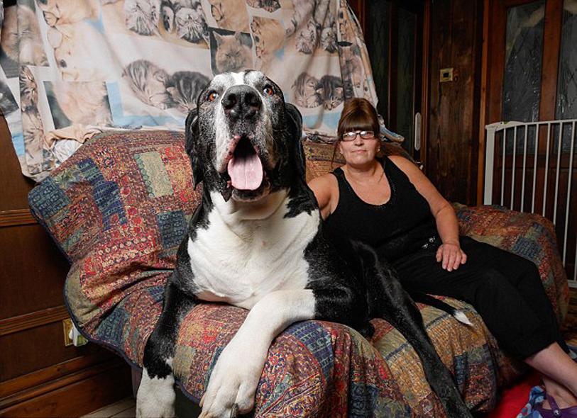 Cane Alano sul divano con la sua proprietaria
