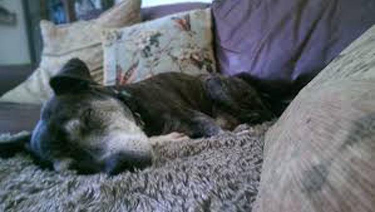 Cane anziano che dorme
