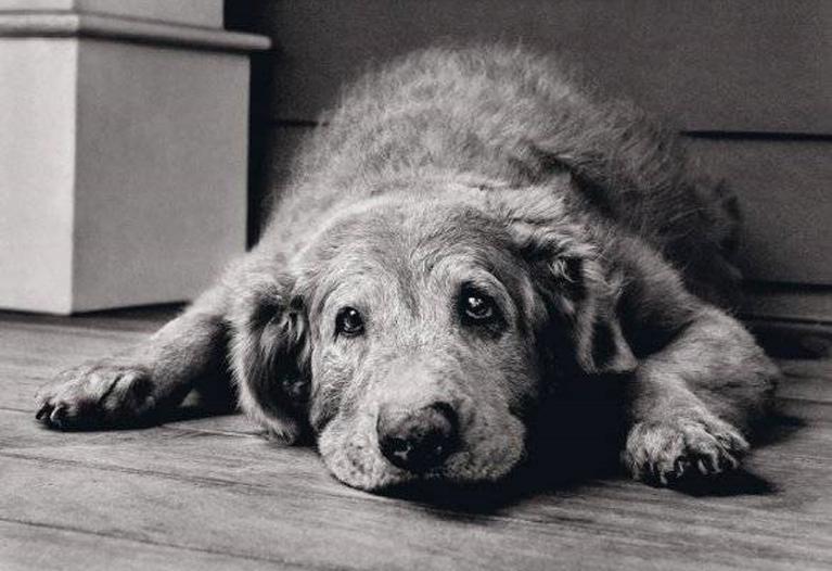 Cane anziano che guarda