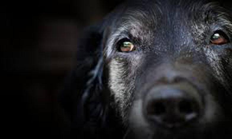 Cane anziano che osserva