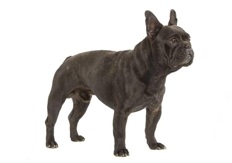 Cane bulldog