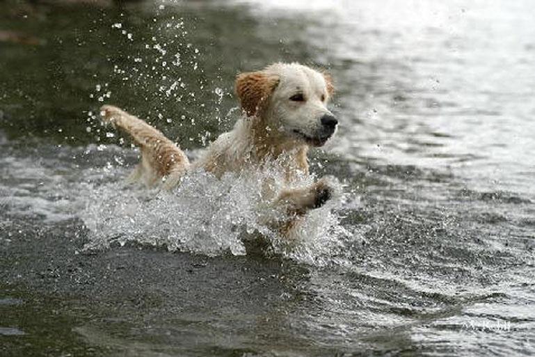 Cane che corre in acqua