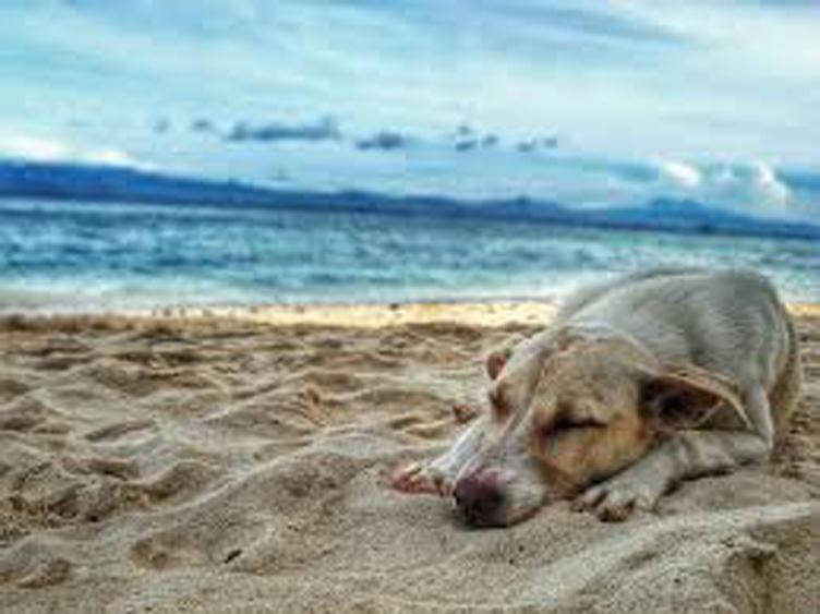 Cane che dorme in spiaggia
