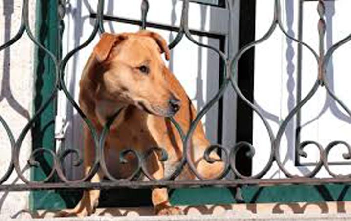 Cane che guarda da un balcone