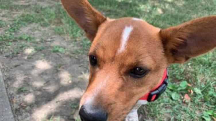 Cane con orecchie alzate