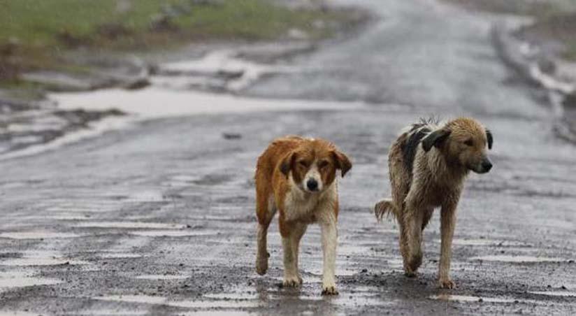 Cani randagi che camminano