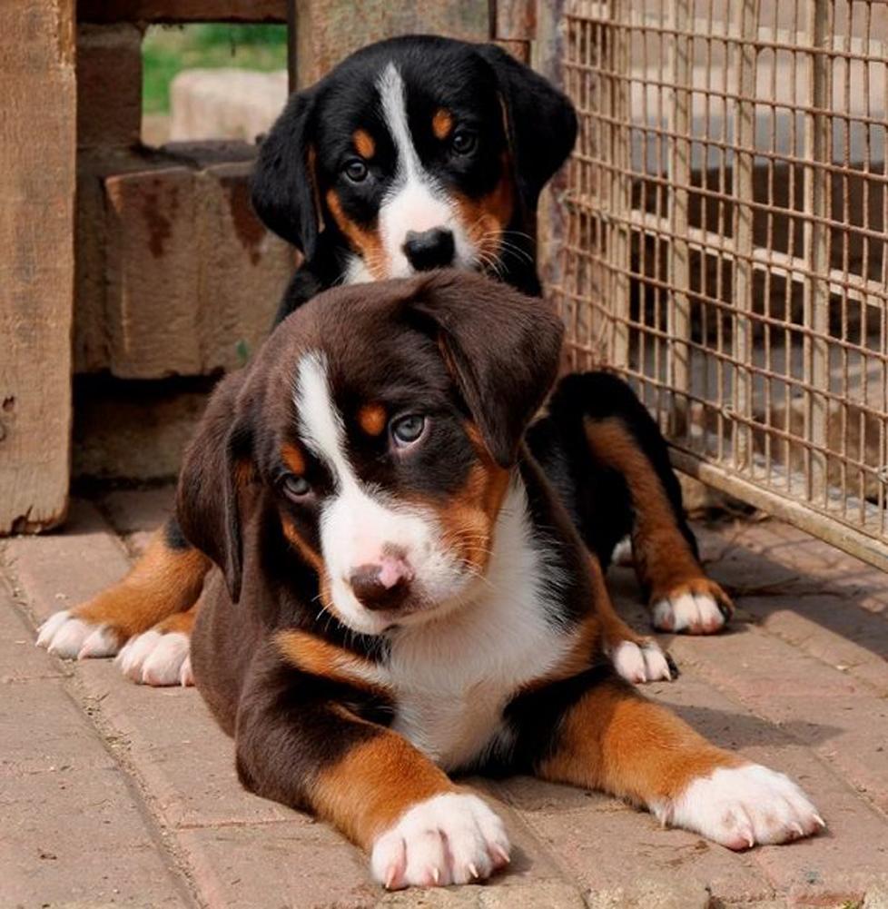 Cuccioli di cane che osservano