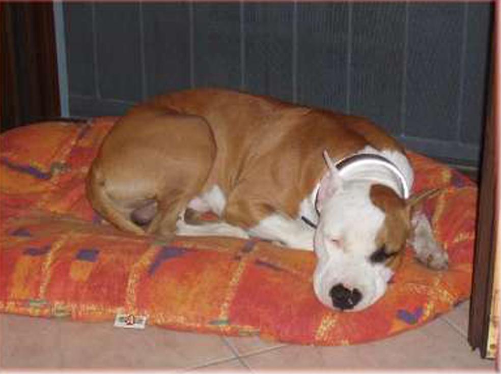 Cucciolo di Amstaff che dorme nella sua cuccia
