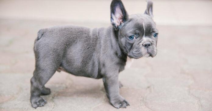 Cucciolo di cane Bulldog