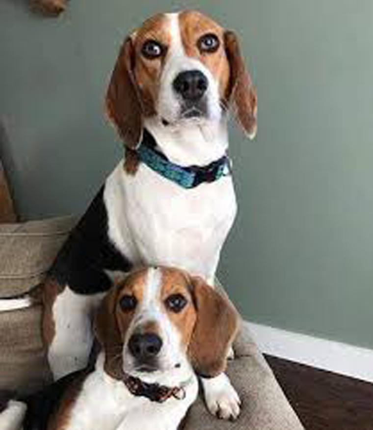 Due cani beagle