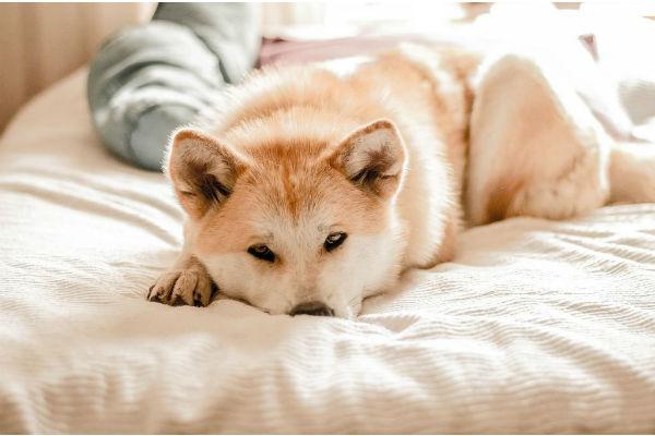 cane coricato