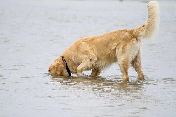 cane beve acqua di mare