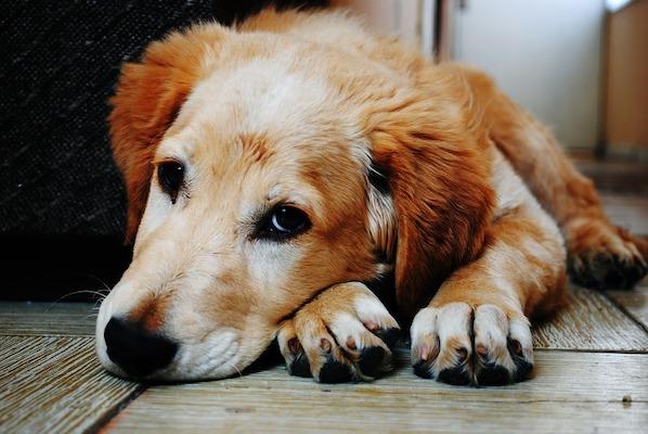 li occhi del cane possono davvero dirci tanto