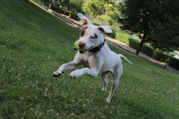 Il cane corre lateralmente? Ecco perché