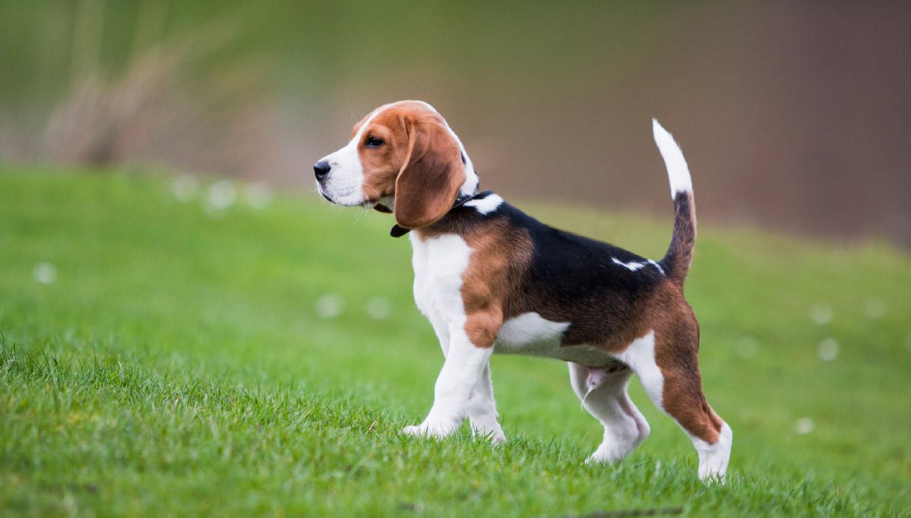 cucciolo di Beagle su prato