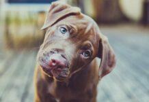 cane inclina la testa
