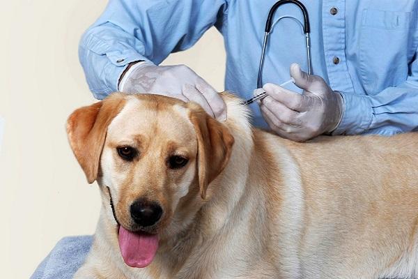 cane fa un'iniezione