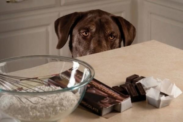 cane guarda il cioccolato