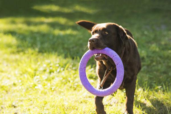 cane con giocattolo in bocca