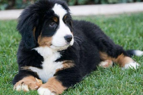 Cani a rischio cancro: le 7 razze più bersagliate