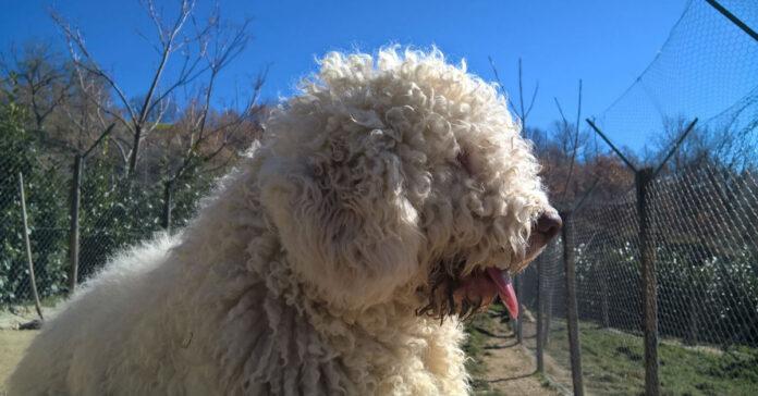 cane bianco